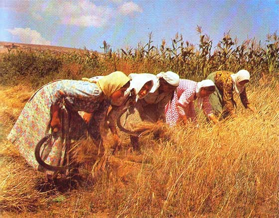 Cutting wheat by hand. This is step one. After it's cut you must seperate the wheat from the stalk; this is called threshing.