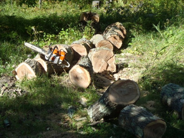 Firewood is wary prey. One must track the tree back to its lair and attack it when it's not paying attention. While there are other means of hunting, the trusty chainsaw is the moth common method of taking harvestable trees.
